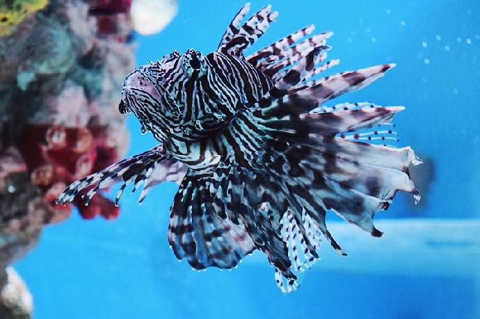 Lionfish Specialty - 1